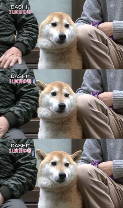 dogs wtf shibas funny - 7852938240