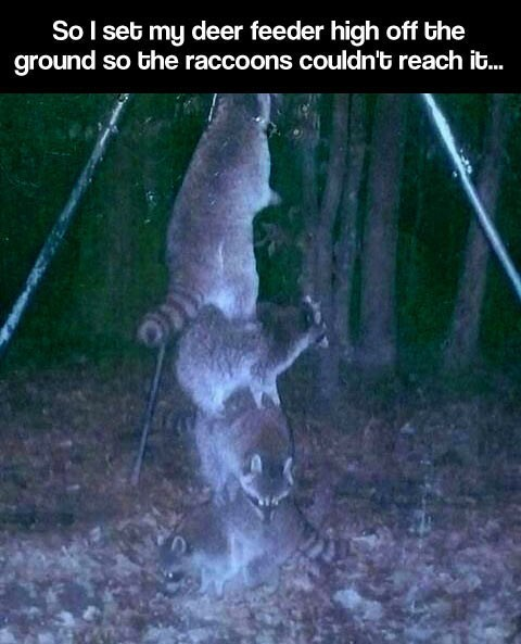 clever raccoon animals - 7853397504