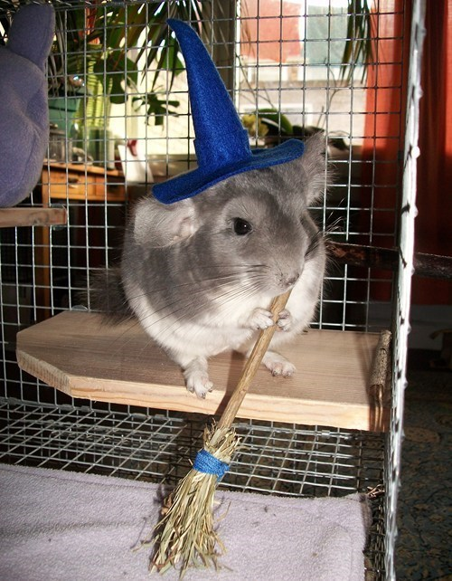 costume,halloween,witch,cute,chinchillas