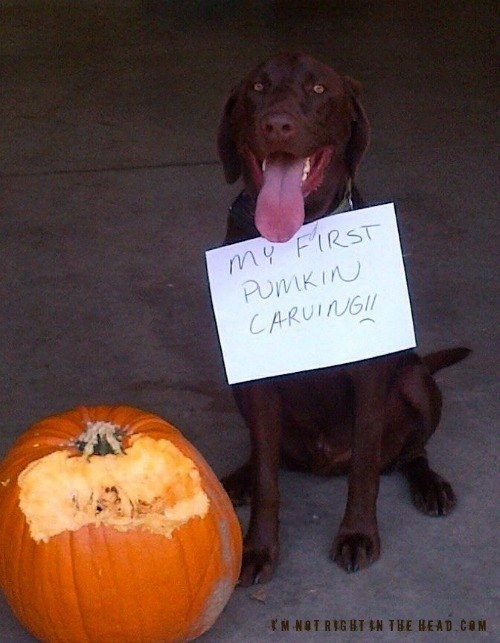 dogs,jack o lanterns,pumpkin carving,delicious,halloween,costumed critters