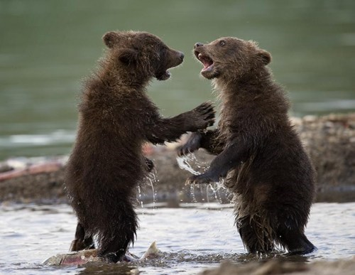 salmon cute bear cubs squee