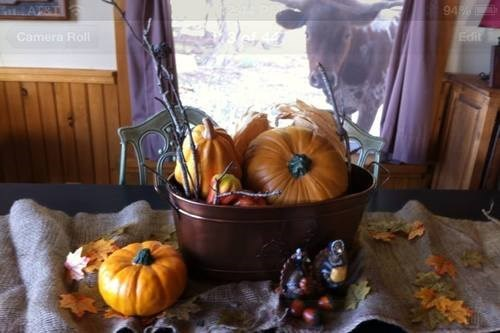 photobomb,pumpkins,cattle,windows,fall