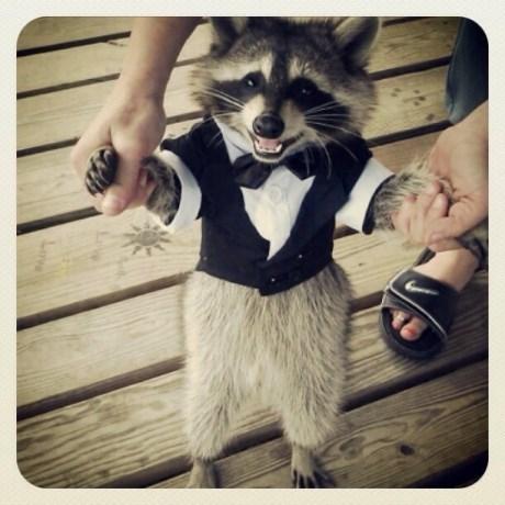 tuxedo,classy critter,raccoon