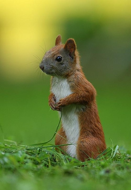 cute grass squirrels squee - 7857139968