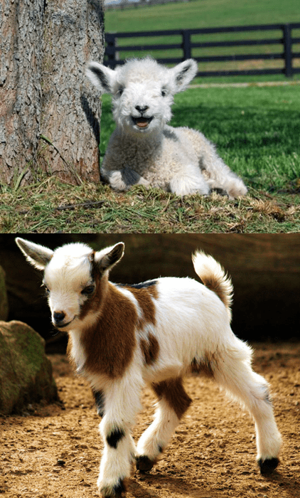 Squee Spree: Lamb vs. Kid
