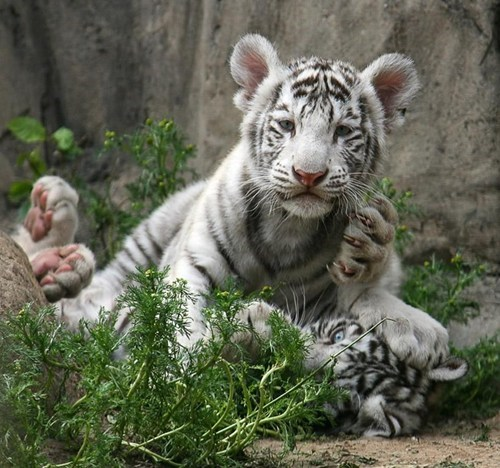 cute cubs white tigers wrestling - 7859660032