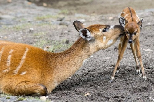 mother,help,fawn,learning to walk