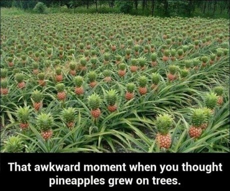 pineapples fruit - 7863991552