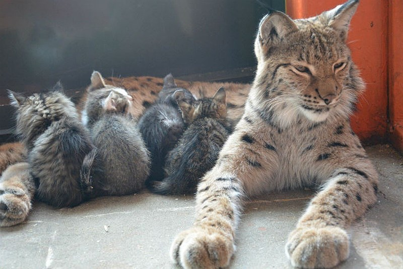 adorable mother kitten cute cute cats adopted Cats lynx - 7864325