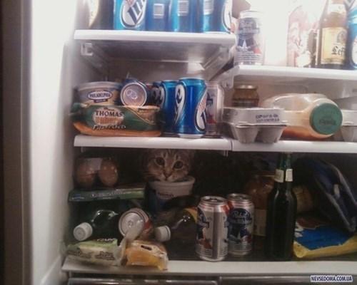 refrigerator,Cats,hide,beer