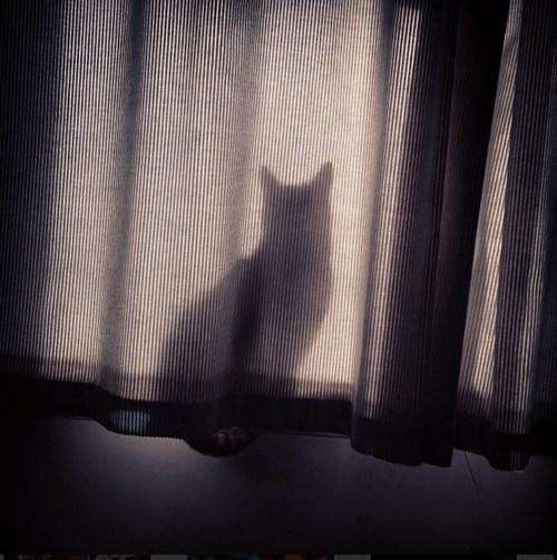 Cats,hide,drape,curtain,window
