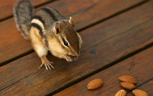 almonds,chipmunks,squirrels,squee