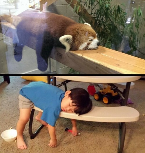 kids,red pandas,parenting,naps