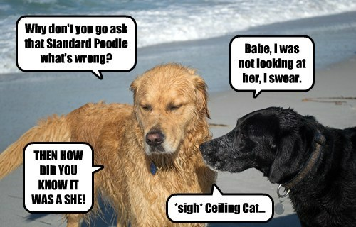 Why don't you go ask that Standard Poodle what's wrong? Babe, I was not looking at her, I swear. THEN HOW DID YOU KNOW IT WAS A SHE! *sigh* Ceiling Cat...