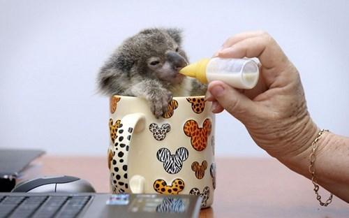 baby koala koalas sippy cup squee mug - 7866828544