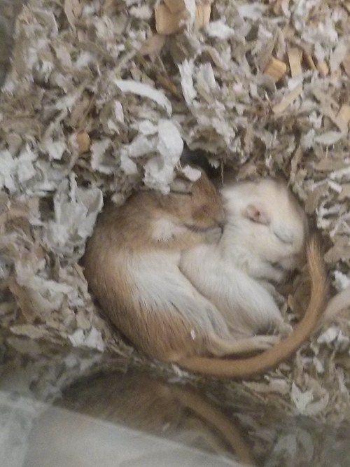snuggle gerbils cute brothers exhausted - 7867125760