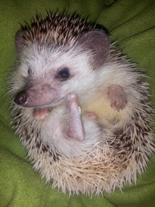 spikes cute hedgehogs - 7867257600