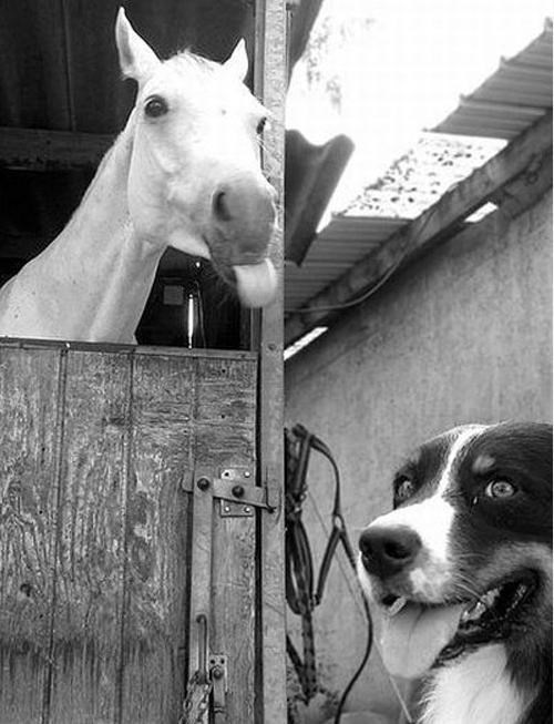 photobomb dogs tongue out horses - 7868422912