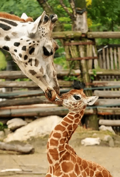 motherhood cute love giraffes - 7868440320