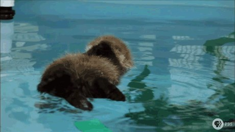 3-Day-Old Otter Takes a Swim