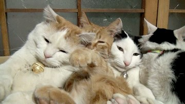 Four Cats Squished into a Box
