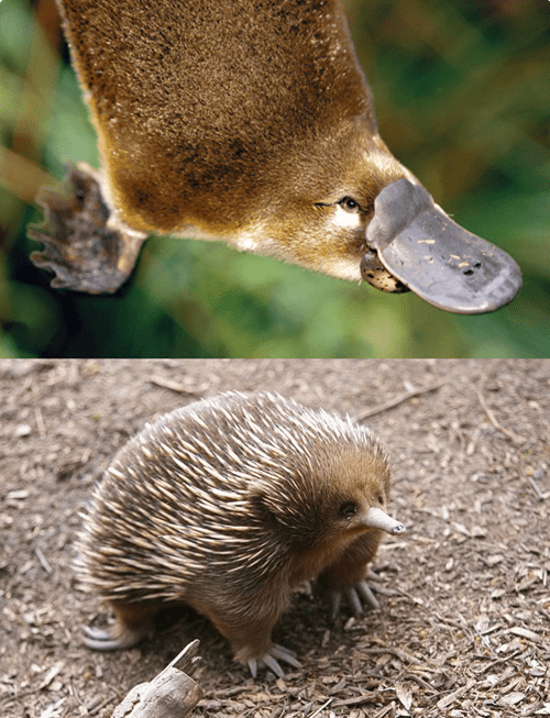 endangered platypus aquatic exotic echidna squee spree