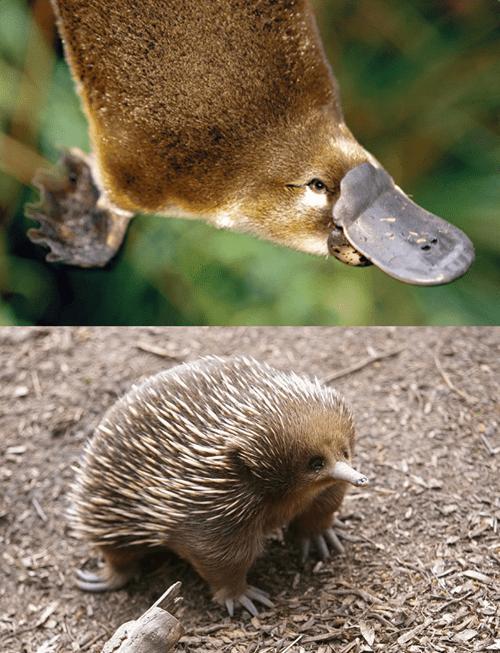 endangered platypus aquatic exotic echidna squee spree - 7869855488