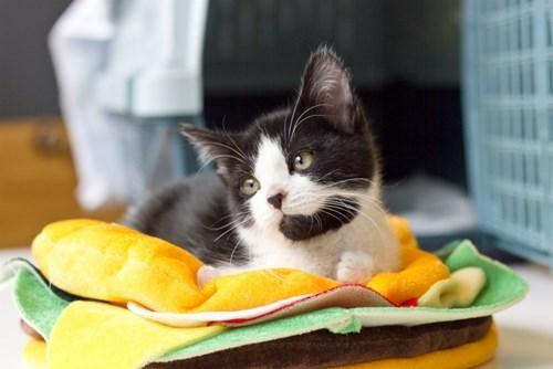 national cat day 2013 celebration holiday animal welfare organization Cats - 7870162688