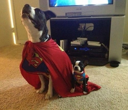 Super Man,costume,dogs,halloween,cute