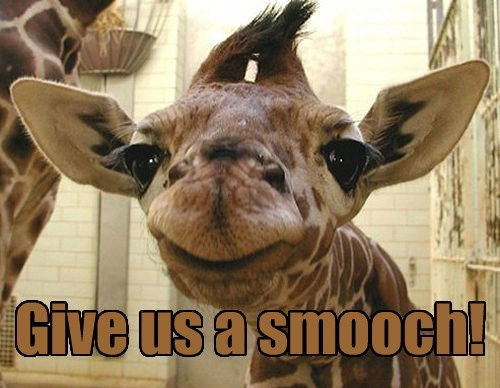 KISS tongue funny giraffes - 7870325504