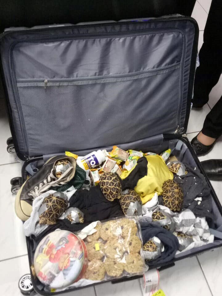 smuggling news found turtles philippines tortoise exotic - 7873285