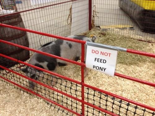 ponies horses pig animals - 7874417408