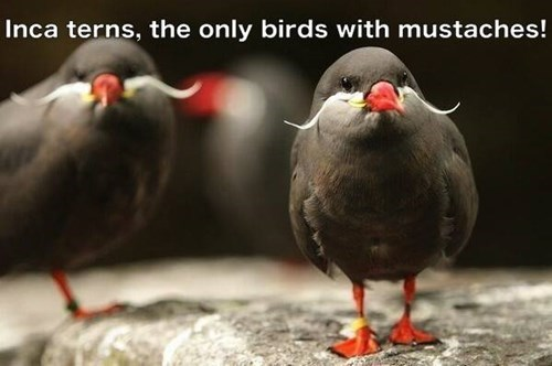 mustache birds cute squee - 7876301056