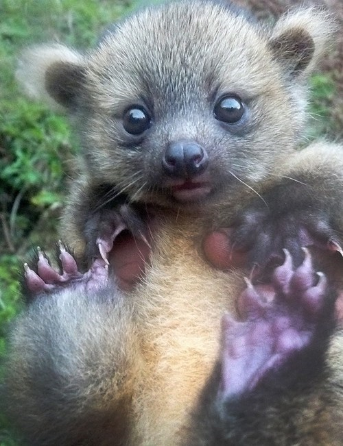 olinguito,baby,cute,squee
