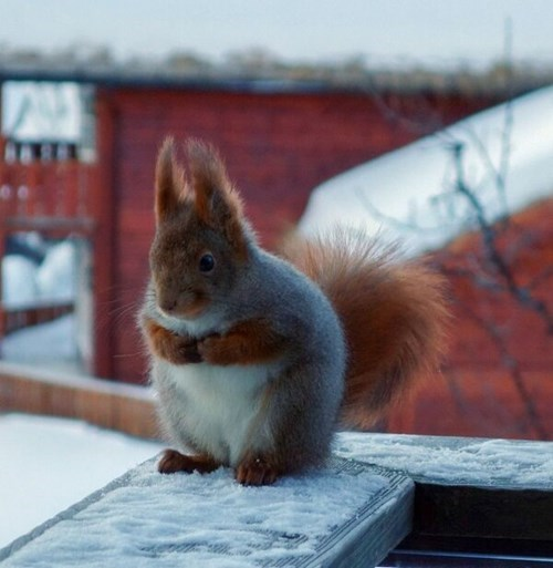 Fluffy squirrel cute winter - 7878143232