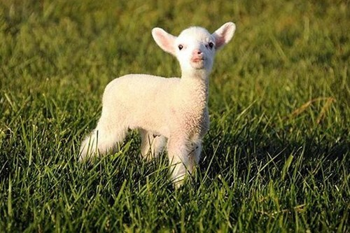 cute grass sun lambs - 7878144256