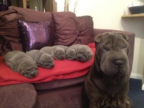 Babies dogs puppies mama wrinkles cute