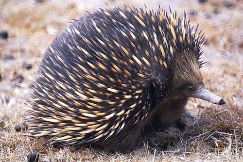 monotreme,australia,echidnas,squee spree