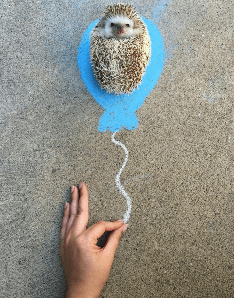 instagram hedgehog hedgehogs fangs rescue - 787973
