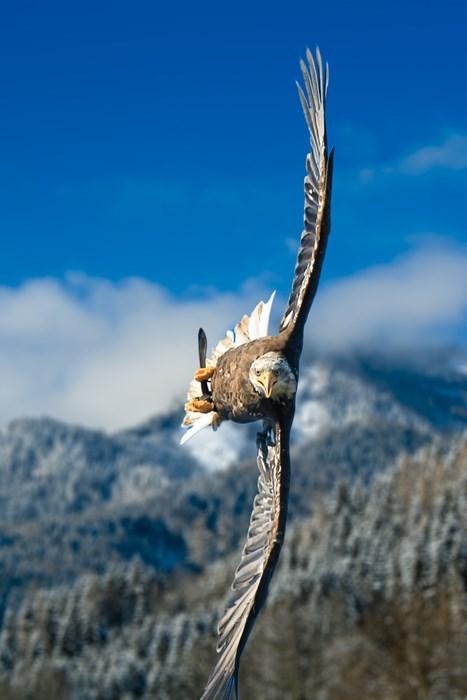 bald eagles animals - 7881123072