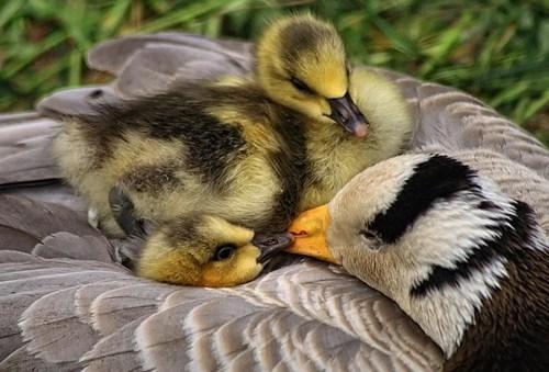 Babies geese mama cute goslings squee - 7884501760