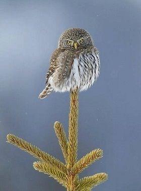 balance cute owls squee - 7884574208