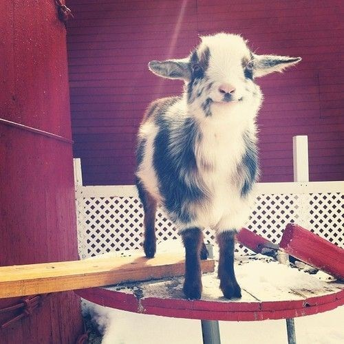 kids goats cute squee smile - 7884589568