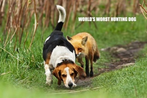 foxes dogs FAIL hunting - 7885910016