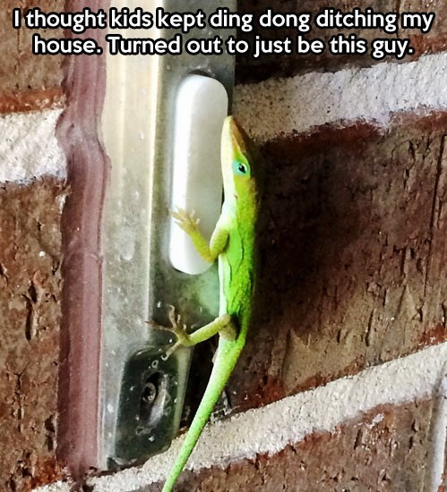 lizards door bell geckos pranks - 7885995008