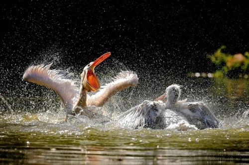 beautiful,birds,pelicans,water