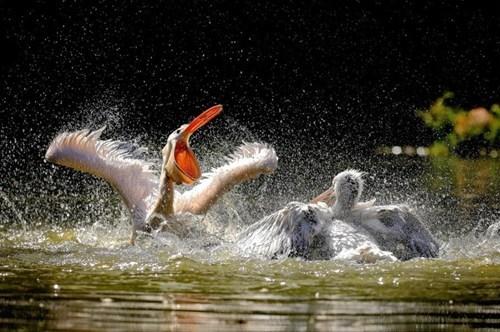 beautiful birds pelicans water - 7886202624