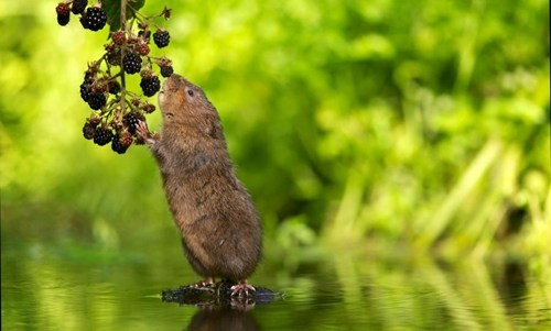 cute,berries,squee,rodents