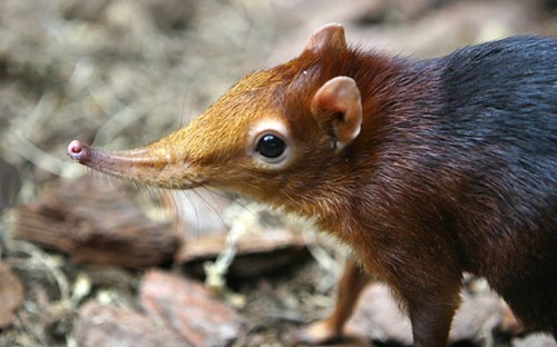 long-eared elephant shrew cute exotic squee - 7887742208