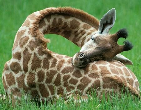 cute squee sleeping giraffes - 7887779584